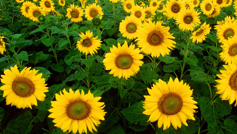 filed-of-sunflowers-scaled