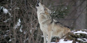 Wolf howling in winter