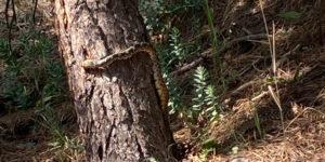 Rattlesnake in tree